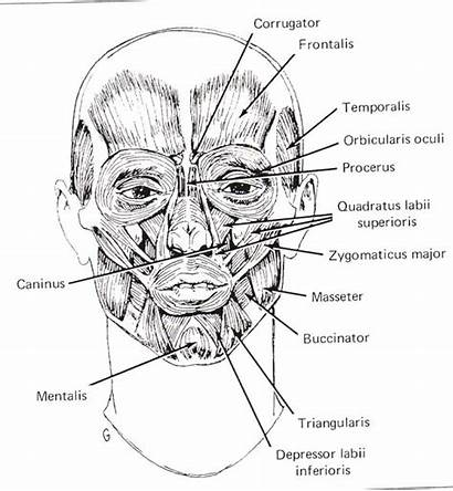 Anatomy Facial Human Muscles Reference Artists Study