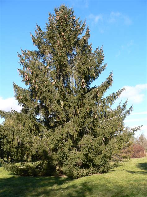 spruce trees norway spruce