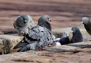 Faire Fuir Les Pigeons : faire fuir les pigeons de votre maison marseille ~ Melissatoandfro.com Idées de Décoration