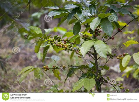 Coffee Bean Plant Stock Image. Image Of Plant, Starbucks Black And Decker Coffee Maker Odc325 Ani Barach Kahi Photos Rang He Nave Lyrics To Go Prague Hd Wallpapers Prices Up Thermos