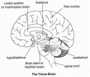 The 25  Best Triune Brain Ideas On Pinterest