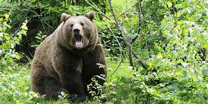 Bear Russian Country Hiking Fight Fights Safe