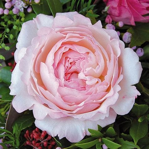 david garden roses all our specials peony bouquets garden rose packs vase gifts