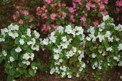 care of begonia plant what is a tuberous begonia tuberous begonia growing tips