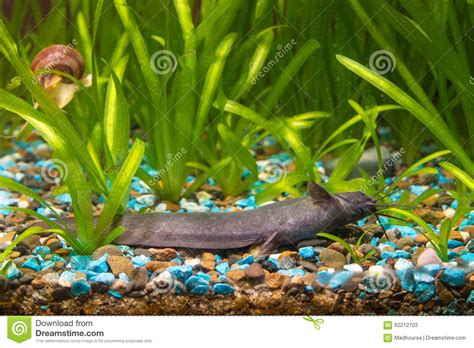 Stechender Wels Liegt Aufgrund Von Dem Aquarium Stockfoto