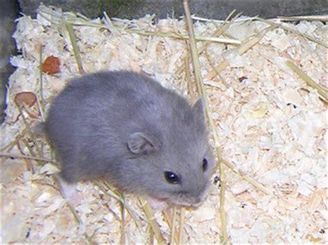 les races d hamsters