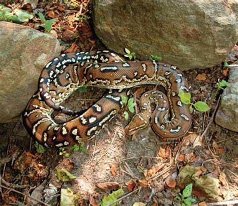 python shedding tips angolan python care tips and secrets