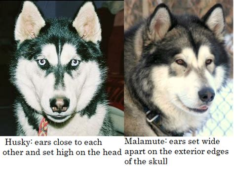 do malamutes shed more than huskies what is the difference between a siberian husky and an