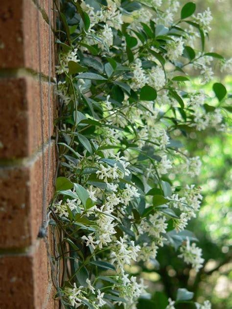 Another Option  Evergreen Star Jasmine Smells Divine