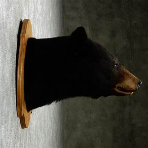 Black Bear Mount For Sale #12962 - The Taxidermy Store