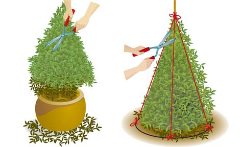 buchsbaum wann schneiden buchsbaum schneiden baumschnitt selbst de