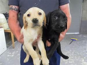 Labrador Retriever cross Golden Retriever. | Carluke ...
