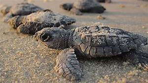 Best Places To See Sea Turtle Hatchlings Southern Living