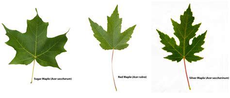 different maple tree leaves maple leaves identification www imgkid com the image kid has it