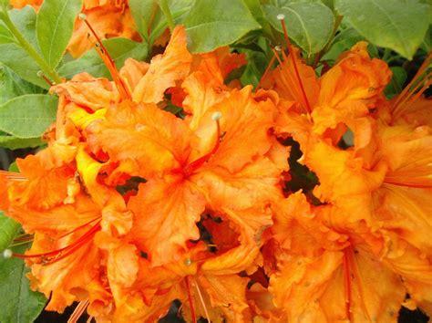 Flowering Shrubs  Johnston's Evergreen Nursery