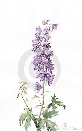 delphinium watercolor painting royalty  stock