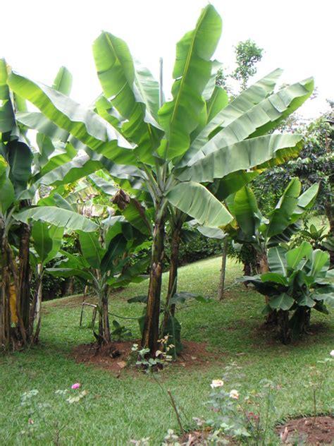 bananier musa fiche plante
