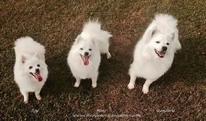 American Eskimo Dog Standard Size