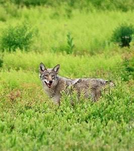 Photo : Un hybride de loup-coyote (Crédit photo ...