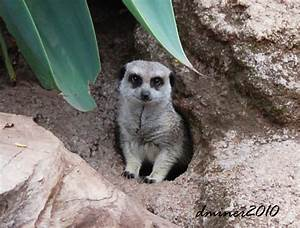Meerkat Burrow Diagram 25885