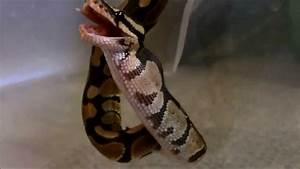 Feeding a Pinkie (baby rat) to a Ball Python (snake) - YouTube