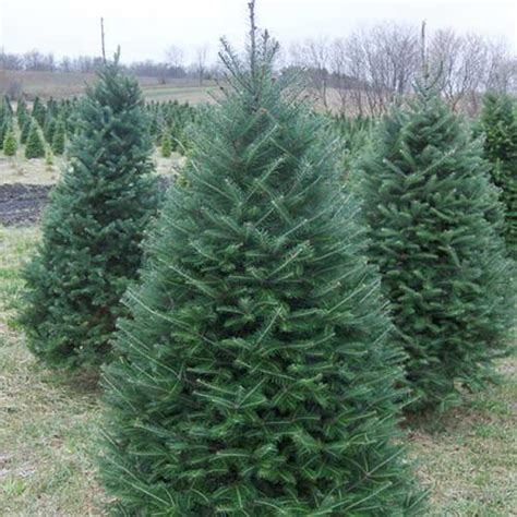 what type of christmas tree lasts the longest pricing for richardson adventure farm in grove illinois