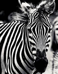 Black And White Zebra Portrait Photograph by Maggy Marsh