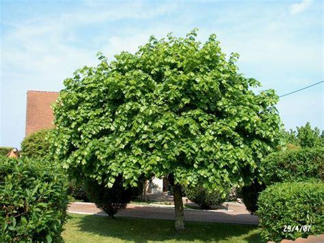 l arbre d ornement 224 croissance rapide