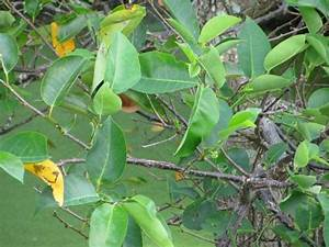 Annona glabra L. - pond apple
