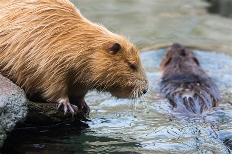 nutria control and treatments for the home yard and garden