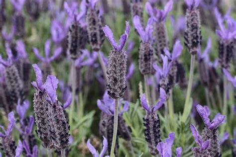 27 Different Types Of Lavender And Benefits Of Growing It