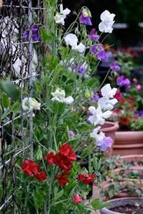 sweet william flowers growing knee high blend sweet peas lathyrus odoratus