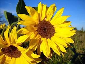Bilder Blumen Kostenlos Downloaden : download bilder f r das handy pflanzen blumen sonnenblumen kostenlos 23797 ~ Frokenaadalensverden.com Haus und Dekorationen