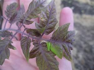 Feuille De Tomate : feuilles de tomate argent au jardin forum de jardinage ~ Melissatoandfro.com Idées de Décoration