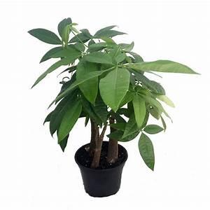 "Braided Money Tree Plant - Pachira aquatica - 6"" Pot ..."