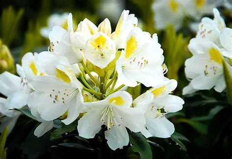 rhododendron trees for sale lemon ice rhododendron chionoides for sale online the tree center