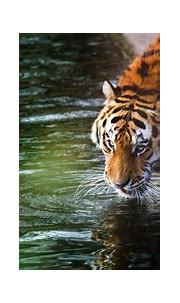Tiger 4k Ultra HD Wallpaper   Background Image   4831x2418 ...