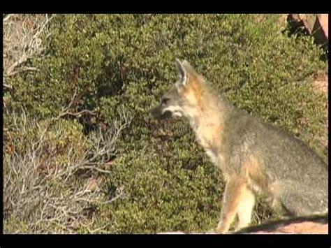 barking fox called  late september  great