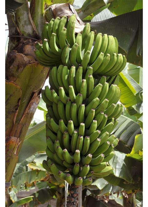 cavendish grand nain banana agrobiotech