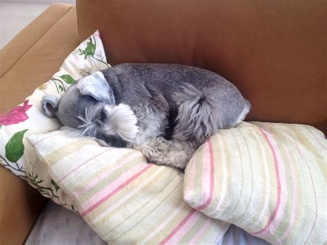 11 Things That You Have To Endure Of Your Schnauzer For