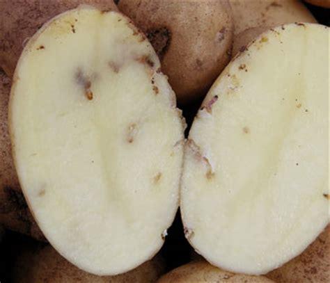 teigne le plant fran 231 ais de pomme de terre