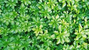Gartengestaltung Unter Bäumen : dickm nnchen bodendecker f r schattige gartenfl chen ~ Yasmunasinghe.com Haus und Dekorationen