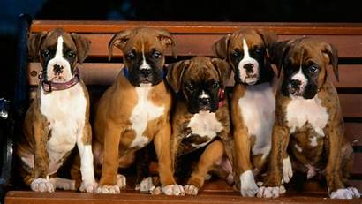 Boxer Dog Puppy Perros Wallpapers Cachorros Puppies