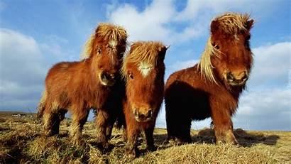 Ponies Horses Pony Koniki Szetlandzkie Trzy Shetland