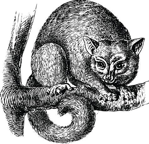 clipart   possum