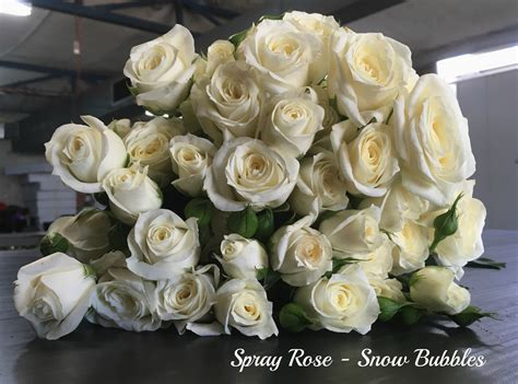 spray rose snowbubblespm