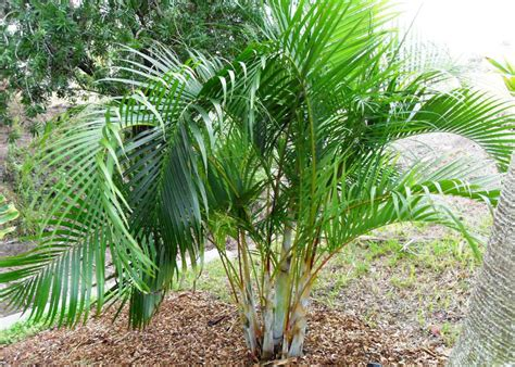 Palmeira Areca | Flores - Cultura Mix