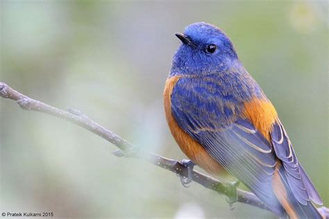 blue fronted blue fronted redstart wikipedia