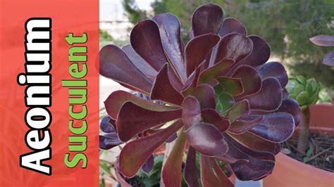 แนะนำไม้อวบน้ำ Aeonium arboreum - YouTube