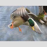 Drake Mallard Duck   1024 x 768 jpeg 111kB